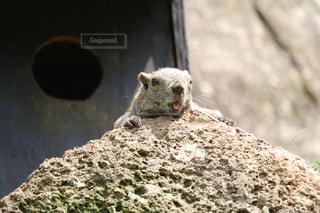 岩の上に座っているリスの写真・画像素材[1161686]