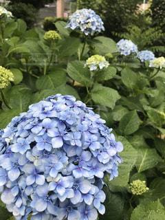 上野公園の紫陽花の写真・画像素材[1154358]