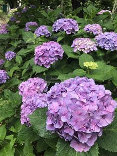 雨上がりの紫陽花の写真・画像素材[1154359]