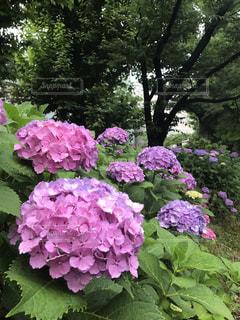 上野公園の紫陽花の写真・画像素材[1154360]