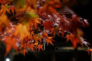 夜の紅葉の写真・画像素材[1164621]