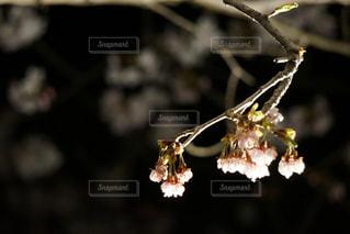 夜桜の写真・画像素材[1168437]