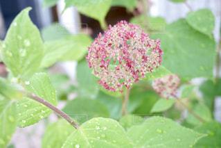 紫陽花の蕾の写真・画像素材[1205131]