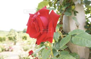 赤い薔薇の写真・画像素材[1209922]