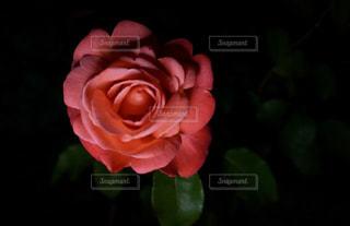 妖艶な薔薇の写真・画像素材[1209926]
