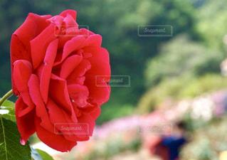 薔薇の写真・画像素材[1284918]