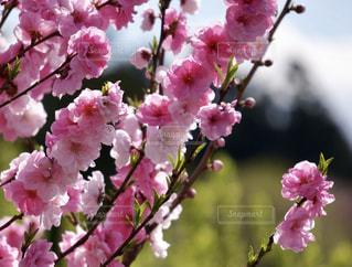 花桃の写真・画像素材[2020779]