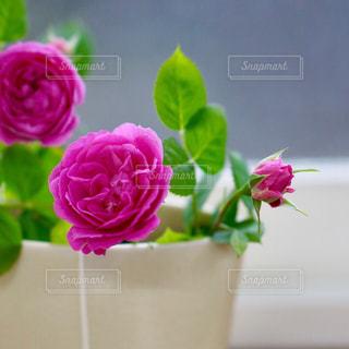 ミニ薔薇の写真・画像素材[2133883]