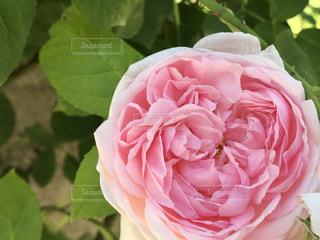 ピンクの薔薇の写真・画像素材[2146787]