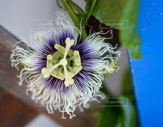 パッションの花の写真・画像素材[2190774]