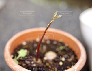 アボガドの芽の写真・画像素材[2284491]