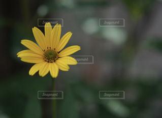 お庭のひまわりの写真・画像素材[2394131]