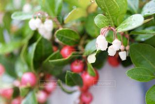 冬の真珠 チェッカーベリーの写真・画像素材[2498606]