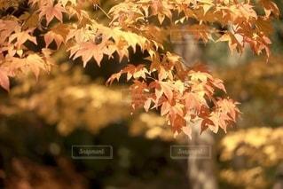 紅葉の写真・画像素材[2742139]