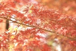 紅葉の写真・画像素材[2742145]