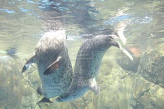 水の中を泳ぐペンギンの写真・画像素材[1155125]