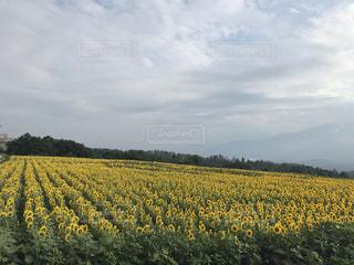 ひまわり畑の写真・画像素材[1155662]