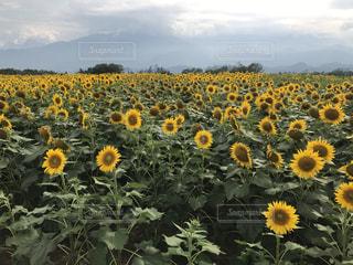 ひまわり畑の写真・画像素材[1155663]