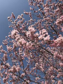 ピンクの桜と青空の写真・画像素材[1155679]