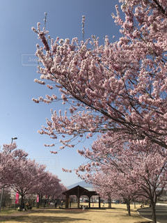 ピンクの桜の写真・画像素材[1155680]