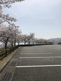 桜の木の写真・画像素材[1155708]