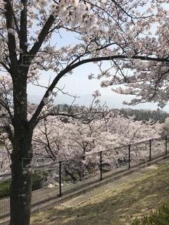 きれいな桜の写真・画像素材[1155710]