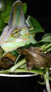 近くに爬虫類のアップの写真・画像素材[1156260]