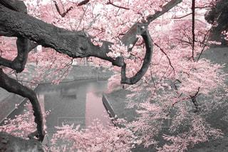 桜の世界への写真・画像素材[1160279]