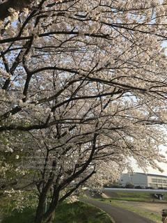 桜満開の土手の写真・画像素材[1155943]