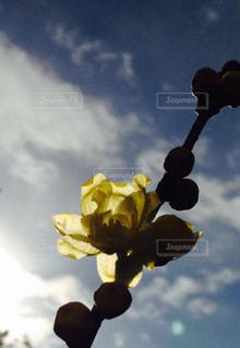 早咲きの蝋梅の写真・画像素材[1160830]