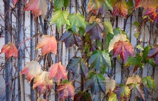 壁に伝う葉の写真・画像素材[1428758]