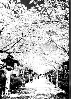桜の木の写真・画像素材[1454712]