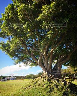 フィールドの大木の写真・画像素材[1157758]