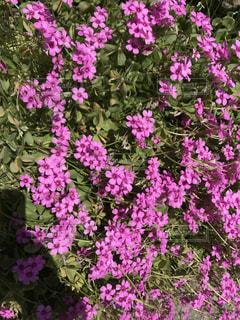 近くに紫の花のアップの写真・画像素材[1158559]