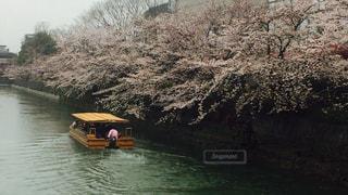 京の桜と舟の写真・画像素材[1159400]