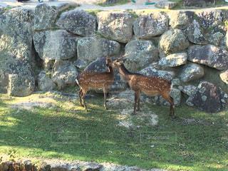 宮島の鹿の写真・画像素材[1159543]