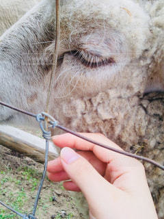 羊の写真・画像素材[1166414]