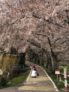 桜並木の写真・画像素材[1169096]
