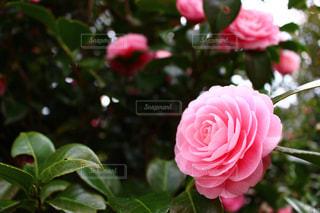椿の花の写真・画像素材[1160736]