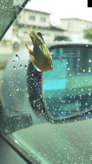 窓に貼りつくカエルの写真・画像素材[1161216]