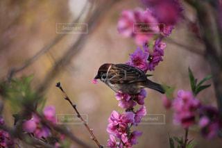 梅の花をついばむツバメの写真・画像素材[1161224]