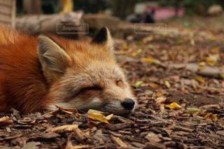 泥の中で横になっている狐の写真・画像素材[1161325]