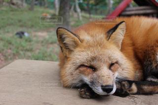 地面に横になっている狐 - No.1161342