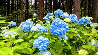 アジサイの花の写真・画像素材[1175225]