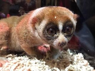 毒を持つ猿の写真・画像素材[1293089]