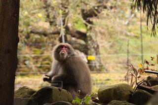 野生の猿の写真・画像素材[1840755]