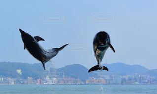 イルカのジャンプの写真・画像素材[1160243]