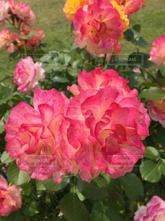 花のクローズアップの写真・画像素材[2277648]