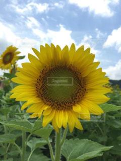 黄色い花の写真・画像素材[2881602]