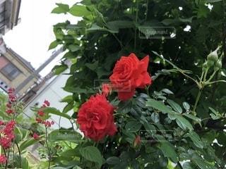 植物の赤い花の写真・画像素材[1161351]